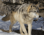 Canis lupus occidentalus.png