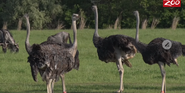 Columbus Zoo Ostriches