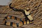Congo Water Cobra