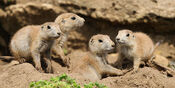 Coterie of black-tailed prairie dogs