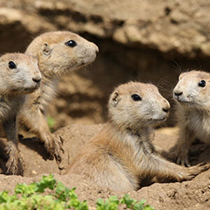 Coterie of black-tailed prairie dogs.jpg