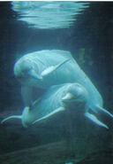 Dolphin, Amazon River