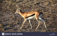 Gazelle, Eastern Thomson's