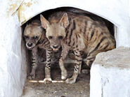Male and Female Striped Hyenas