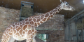 Maryland Zoo Giraffe