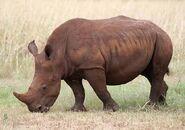 One Horned White Rhino