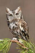 Owl, Eastern Screech