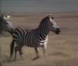Really Wild Animals Zebra