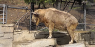 San Diego Zoo Takin