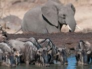 Wildebeests and the Elephant