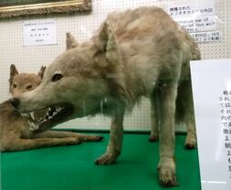 Yezo wolf at Hokkaido University.jpg