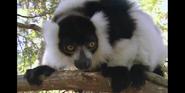 Zoboomafoo B&W Ruffed Lemur