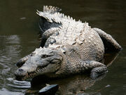 Crocodile, American.jpg