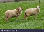 Domestic Ram and Ewe