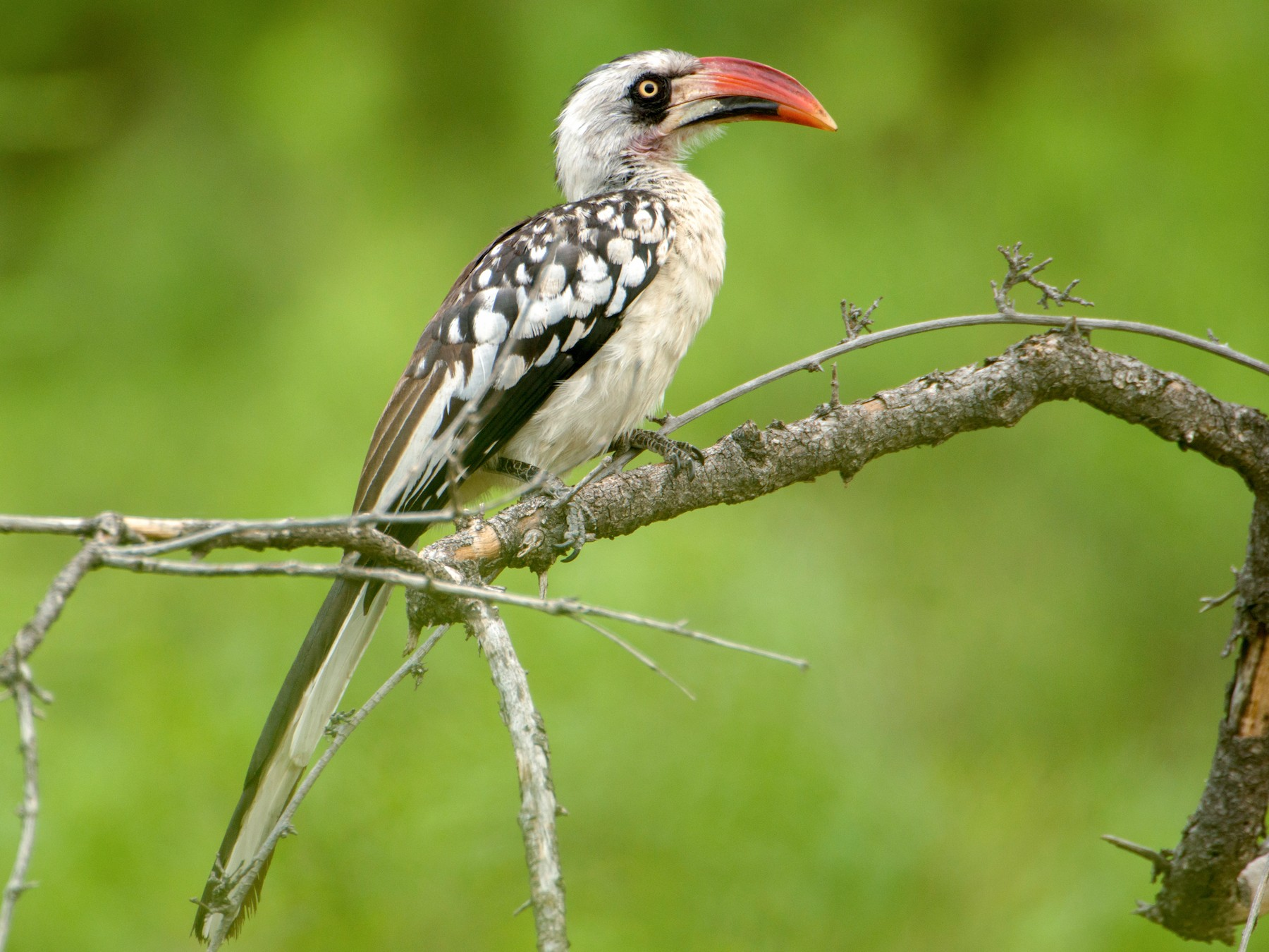 Tanzanian Red-Billed Hornbill