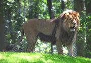 Katanga lion.jpg