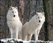 Male and Female Arctic Wolves