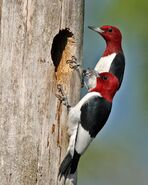 Male and Female Red-Headed Woodpeckers