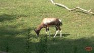 Nashville Zoo Bontebok