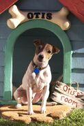 Otis the Jack Russell Terrier