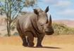Southern-white-rhinoceros-planet-zoo