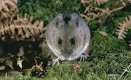 Wood mouse 1