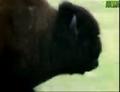 AFO Bison
