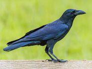 American crow (Corvus brachyrynchos)