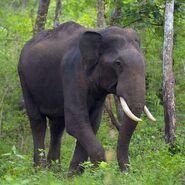 Asian Elephant (V3)