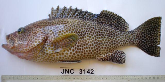 Brown Spotted Reef Cod