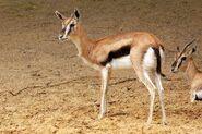 Female Gazelle (Animals)