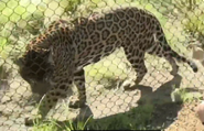 Houston Zoo Jaguar