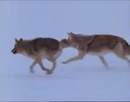 MATG Wolves