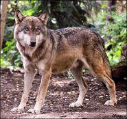 Male Eurasian Wolf