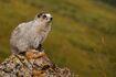 Marmot, hoary