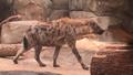 Milwaukee County Zoo Hyena