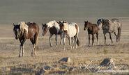 Mustang herd