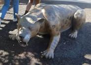 San Diego Zoo Smilodon