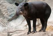 Tapirus bairdii -Franklin Park Zoo, Massachusetts, USA-8a