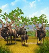 ZT-Common Wildebeest