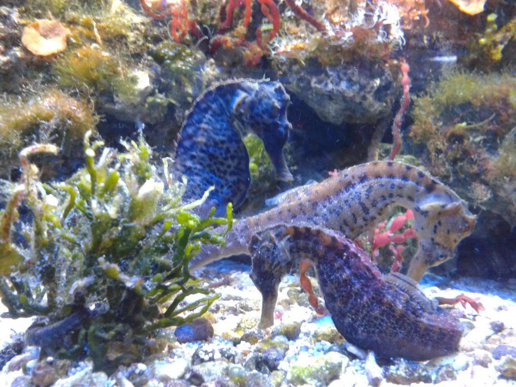 Crowned Seahorse