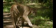 CITIRWN Cougar