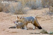 Cape-fox-female-grooming-pup