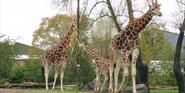 Chester Zoo Giraffes