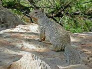 DSCN4197-Rock-Squirrel