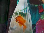 FN Goldfish