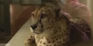 Great Plains Zoo Cheetah