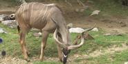 Indianapolis Zoo kudu