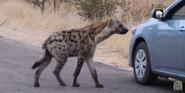 KNP Hyena