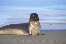 Northern-elephant-seal-54M1431-28.jpg